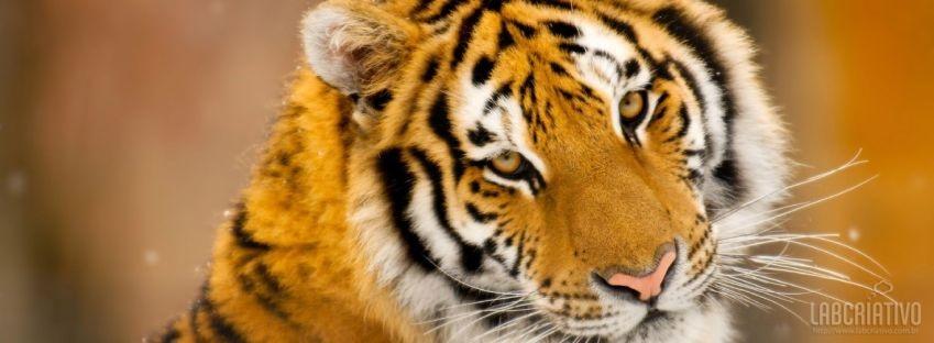 facebook timeline cover Siberian Tiger Wild Animal Animals/Wild,Tiger,Animal,Siberian,Wild