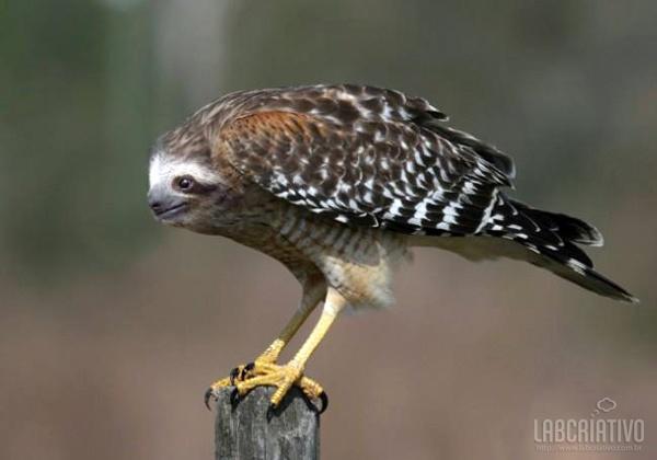 cruzamento de bicho preguiça com águia