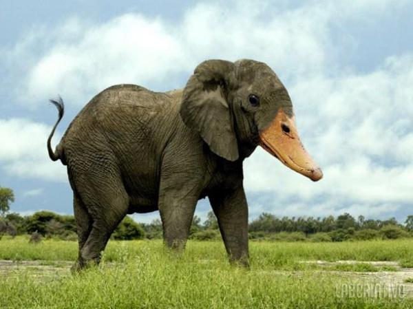 cruzamento de elefante com pato