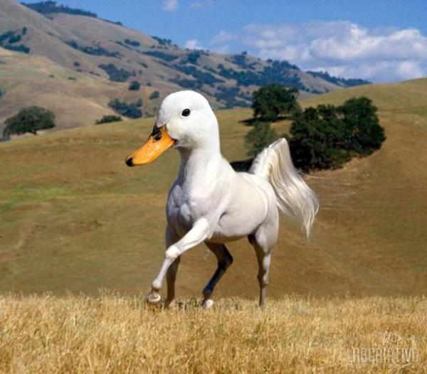 cruzamento de pato com cavalo