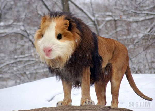 cruzamento de ramster com leão
