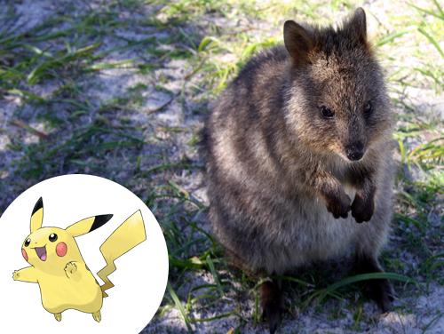 Pikachu Inspiração: Quokka