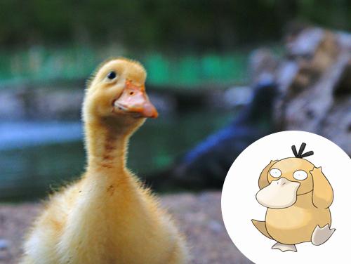 Psyduck Inspiração: Patos
