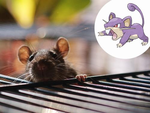 Rattata Inspiração: Camundongos