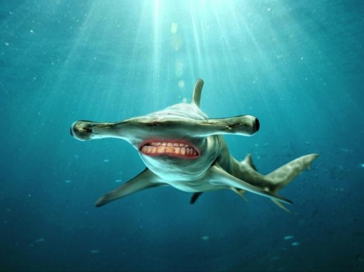 Tubarão martelo de sorriso novo